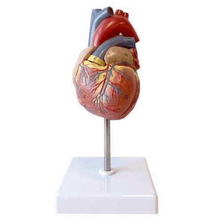 مولاژ قلب اندازه طبیعی